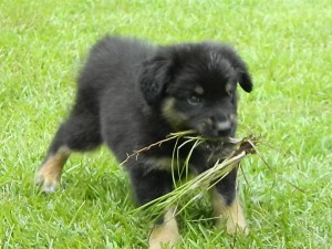 Australian Shepherd Puppies for Sale in GA